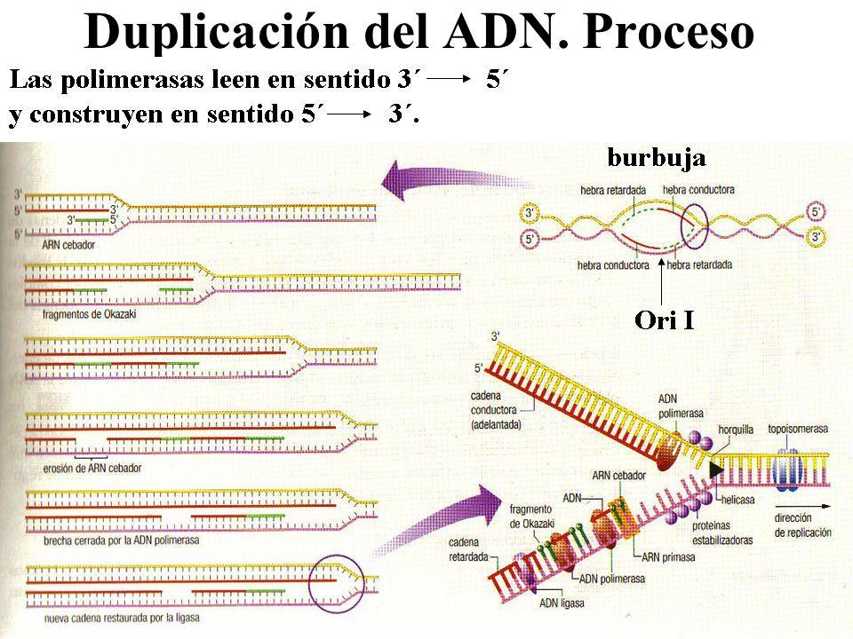 Duplicación del ADN. Proceso
