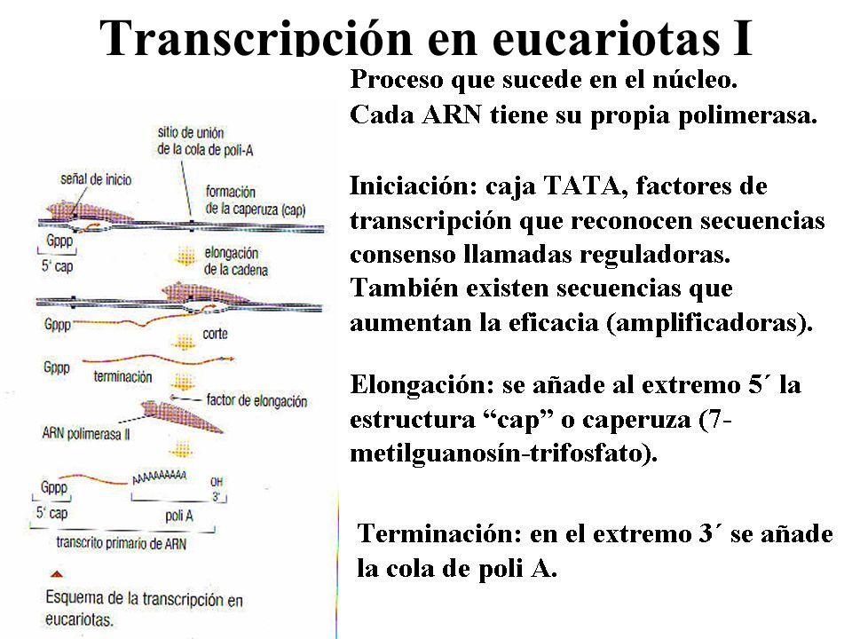 Transcripción en eucariotas I