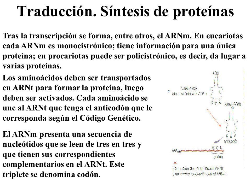 Traducción. Síntesis de proteínas