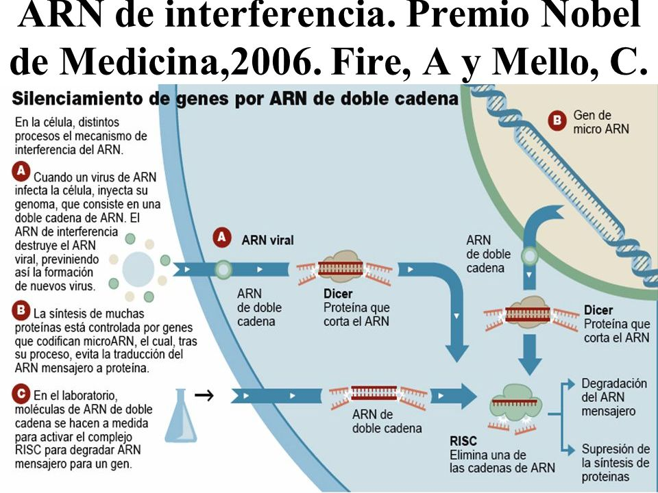 ARN de interferencia. Premio Nobel de Medicina,2006. Fire, A y Mello, C.