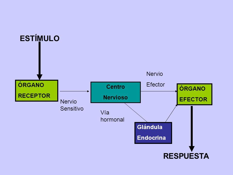 ESTÍMULO RESPUESTA Nervio Efector ÓRGANO Centro RECEPTOR ÓRGANO