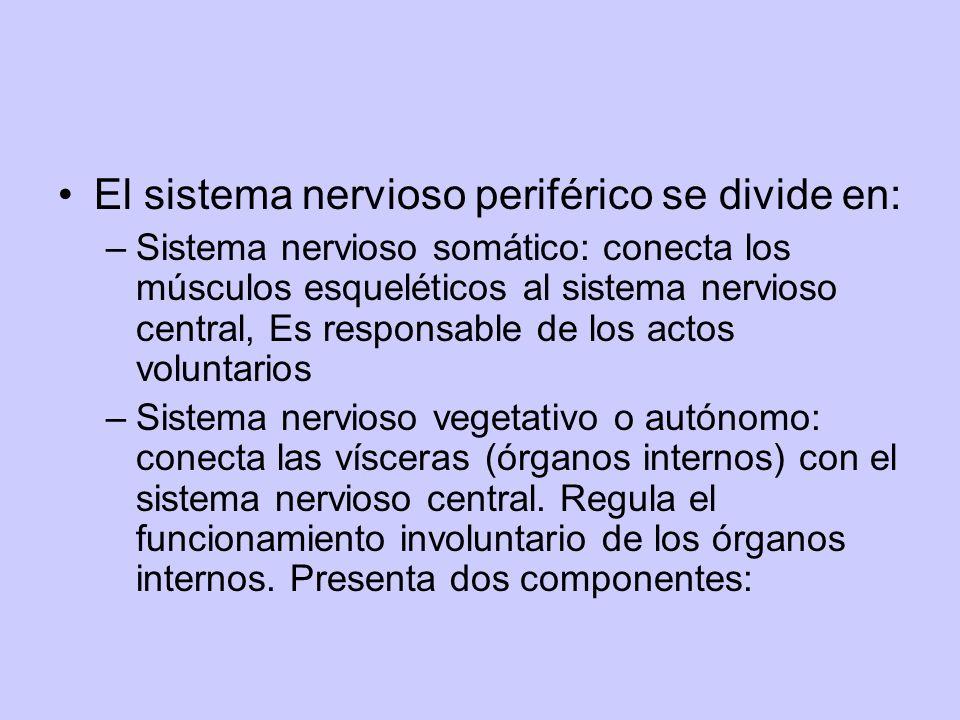 El sistema nervioso periférico se divide en: