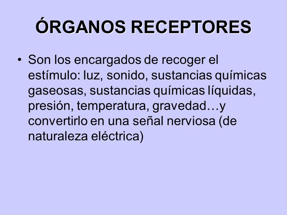 ÓRGANOS RECEPTORES