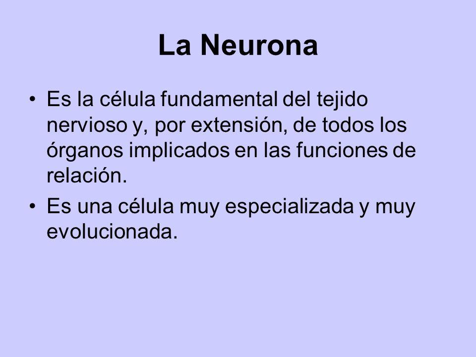 La Neurona Es la célula fundamental del tejido nervioso y, por extensión, de todos los órganos implicados en las funciones de relación.
