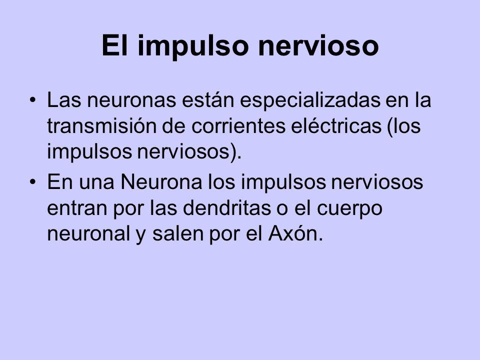 El impulso nervioso Las neuronas están especializadas en la transmisión de corrientes eléctricas (los impulsos nerviosos).