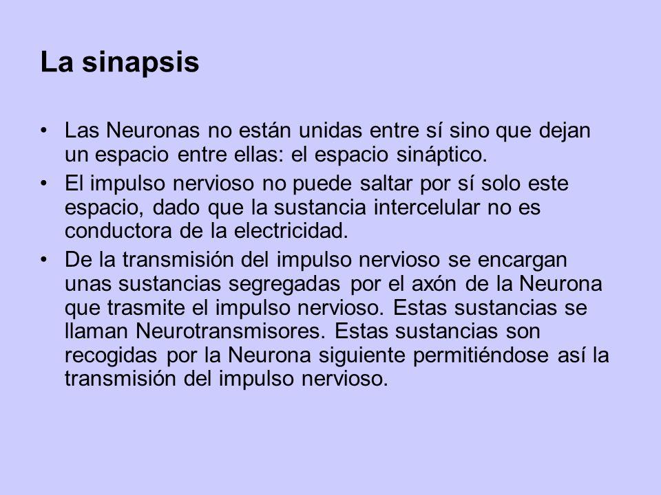La sinapsis Las Neuronas no están unidas entre sí sino que dejan un espacio entre ellas: el espacio sináptico.