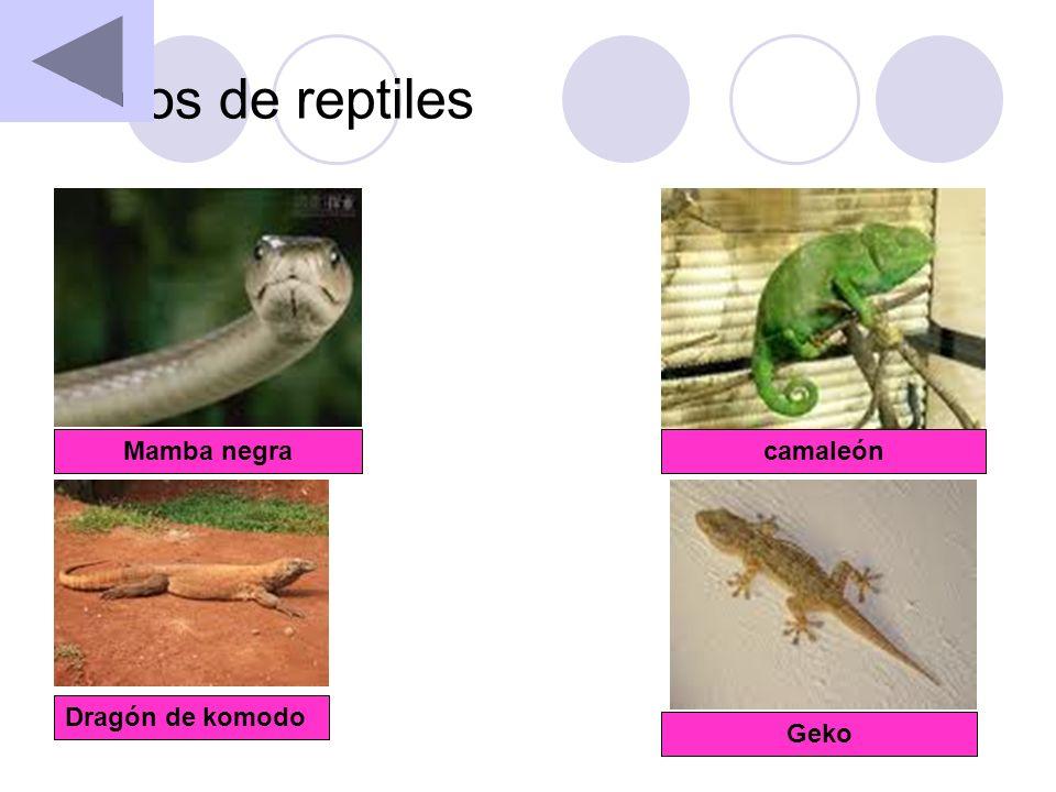 Fotos de reptiles Mamba negra camaleón Dragón de komodo Geko