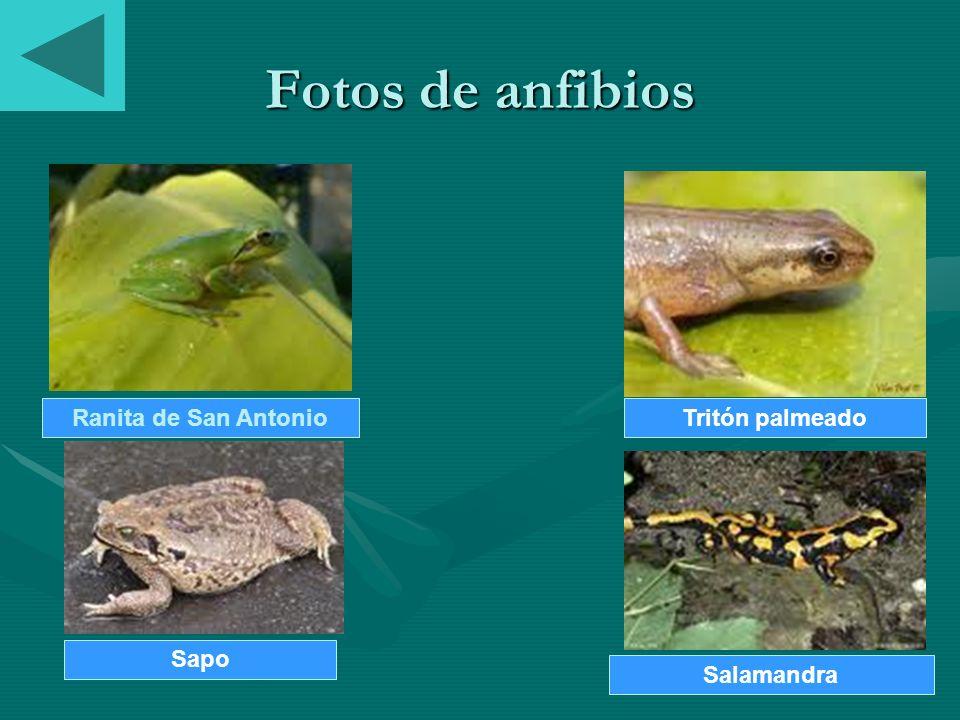 Fotos de anfibios Ranita de San Antonio Tritón palmeado Sapo