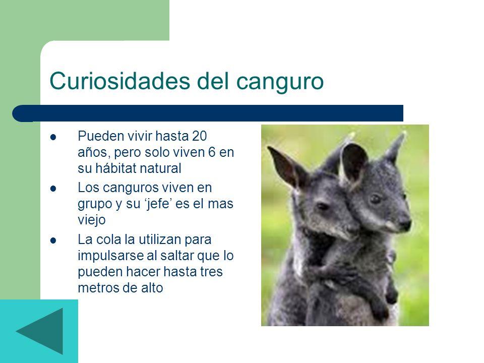 Curiosidades del canguro