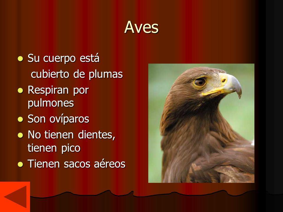Aves Su cuerpo está cubierto de plumas Respiran por pulmones