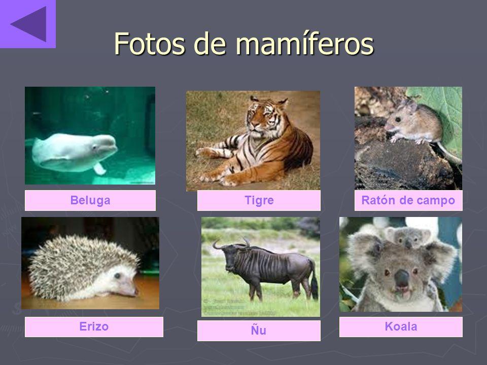 Fotos de mamíferos Beluga Tigre Ratón de campo Erizo Koala Ñu