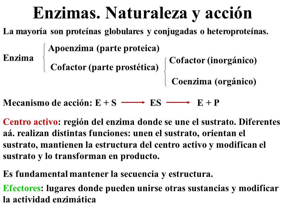 Enzimas. Naturaleza y acción