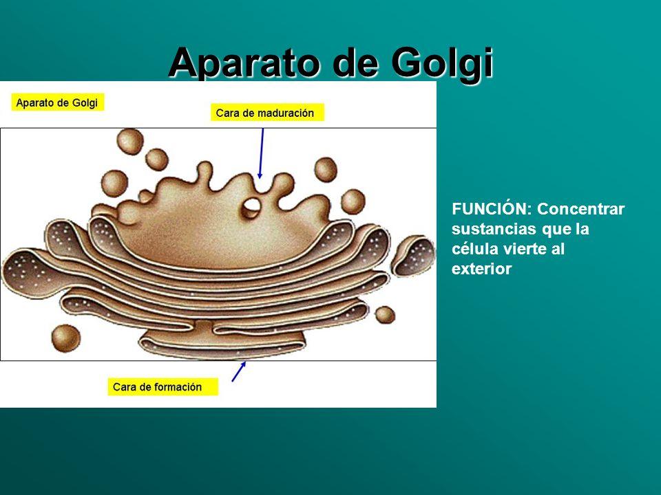 Aparato de Golgi FUNCIÓN: Concentrar sustancias que la célula vierte al exterior