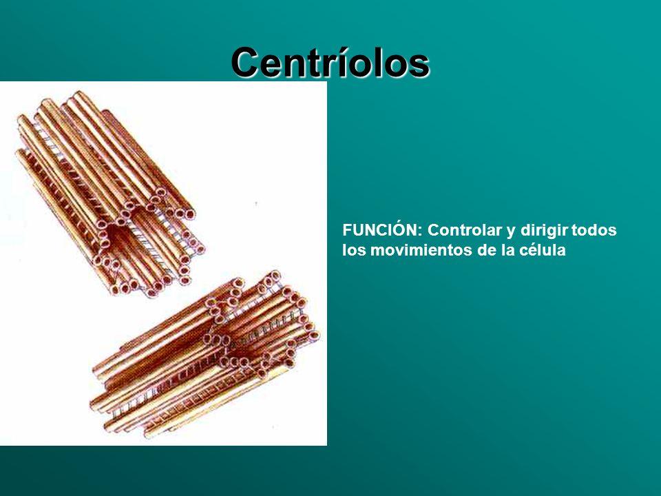 Centríolos FUNCIÓN: Controlar y dirigir todos los movimientos de la célula