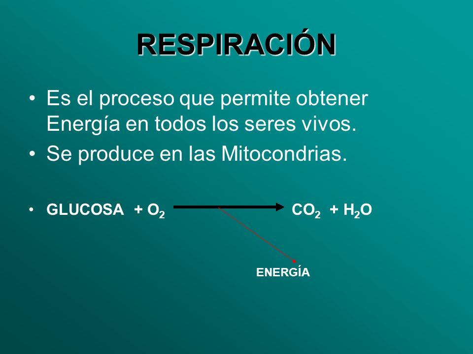RESPIRACIÓNEs el proceso que permite obtener Energía en todos los seres vivos. Se produce en las Mitocondrias.
