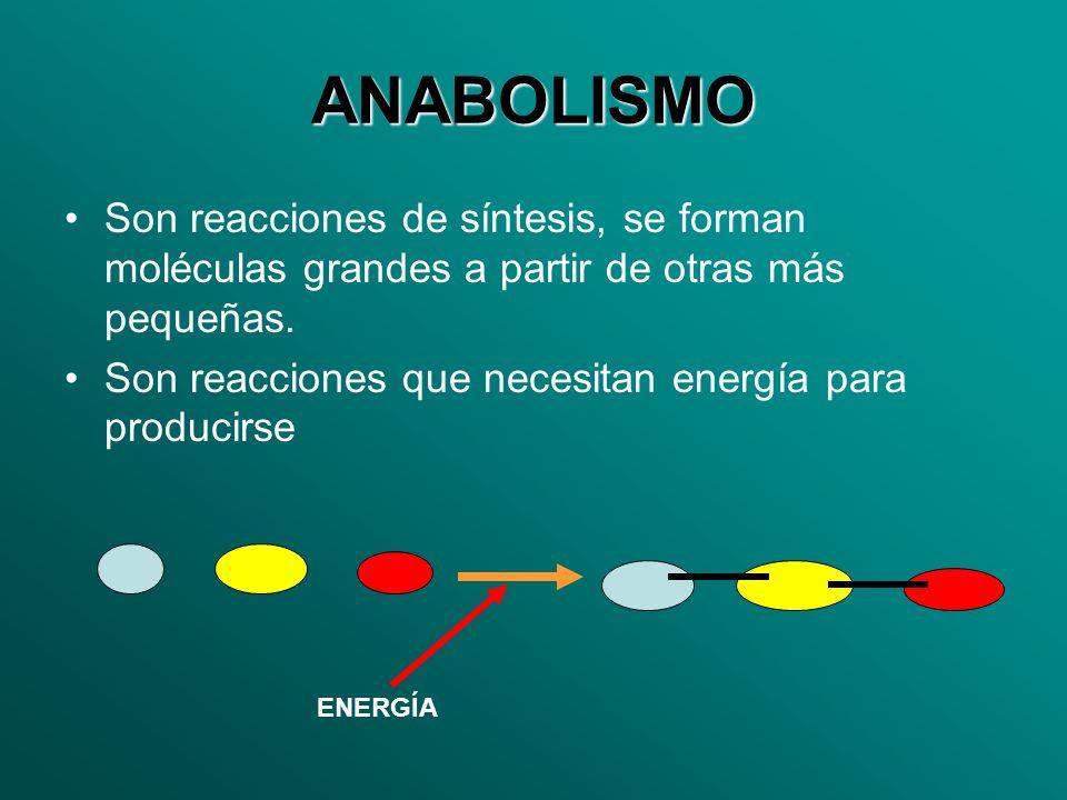 ANABOLISMO Son reacciones de síntesis, se forman moléculas grandes a partir de otras más pequeñas.