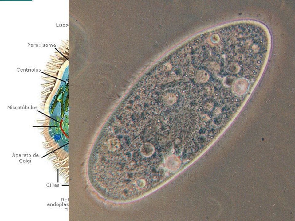 Tipos de células Procariotas:Las que no tienen núcleo