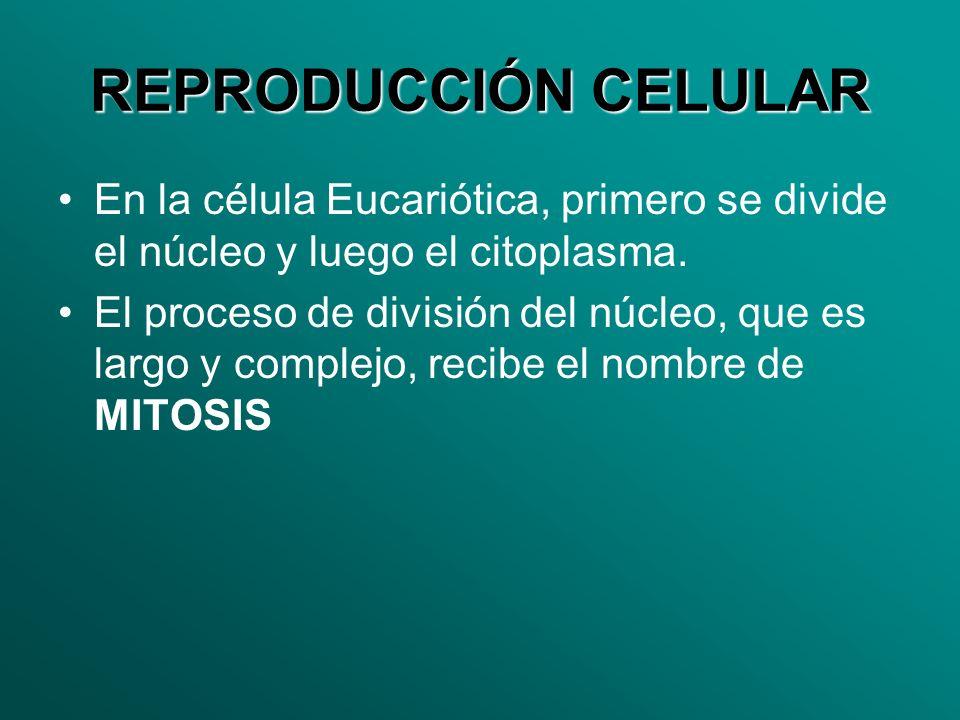 REPRODUCCIÓN CELULAREn la célula Eucariótica, primero se divide el núcleo y luego el citoplasma.