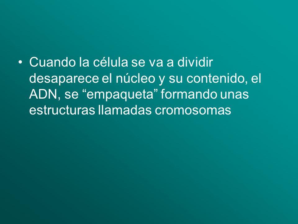 Cuando la célula se va a dividir desaparece el núcleo y su contenido, el ADN, se empaqueta formando unas estructuras llamadas cromosomas