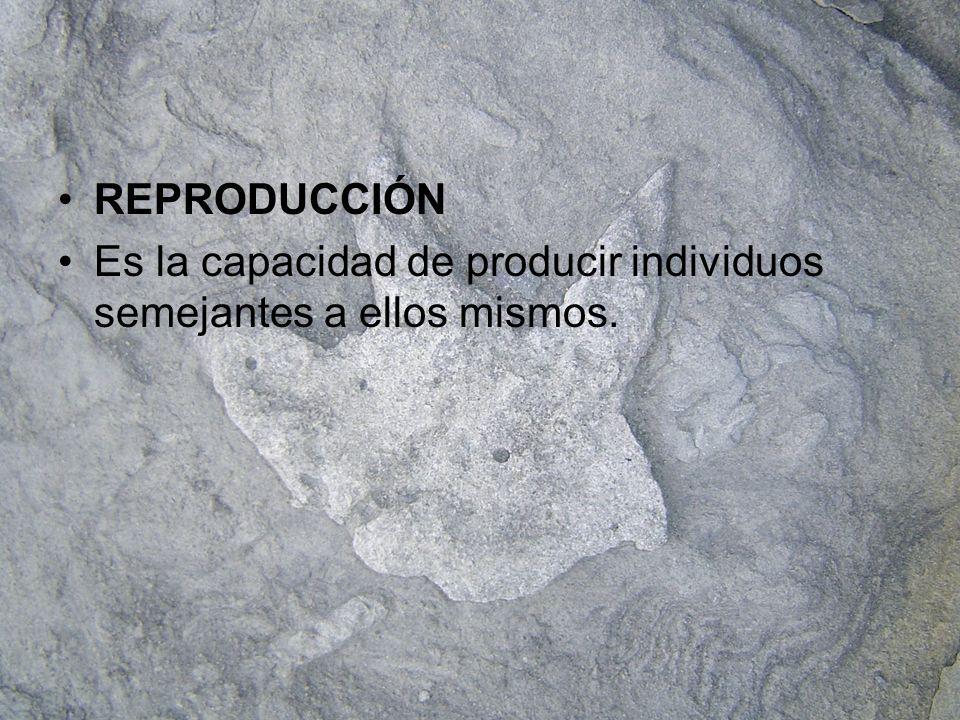 REPRODUCCIÓN Es la capacidad de producir individuos semejantes a ellos mismos.
