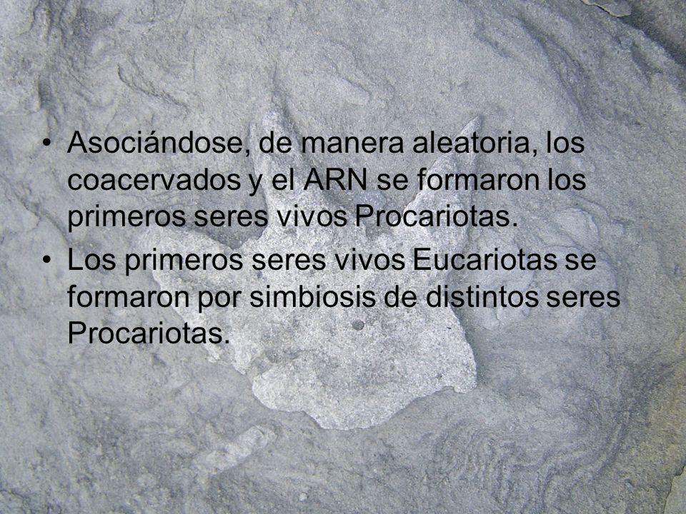 Asociándose, de manera aleatoria, los coacervados y el ARN se formaron los primeros seres vivos Procariotas.