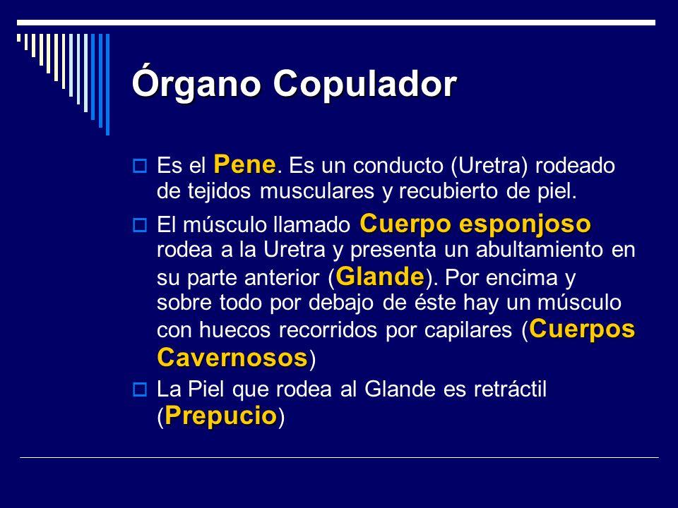 Órgano Copulador Es el Pene. Es un conducto (Uretra) rodeado de tejidos musculares y recubierto de piel.