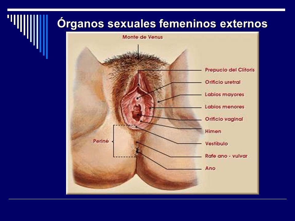Órganos sexuales femeninos externos