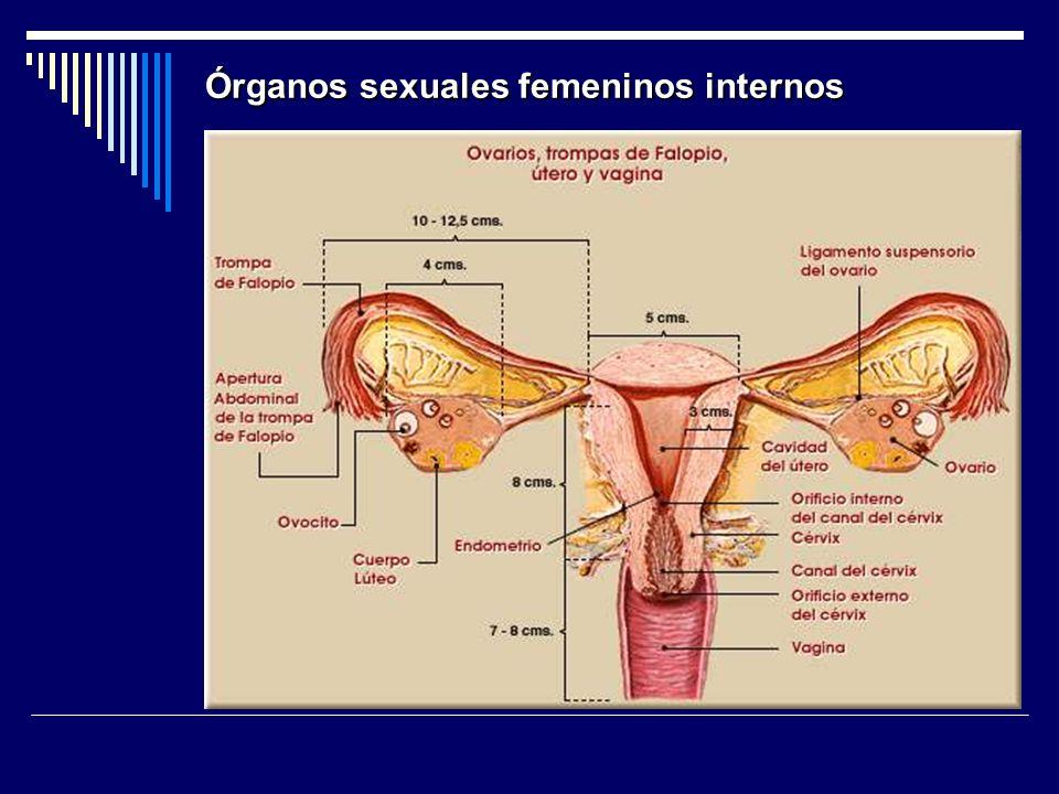 Órganos sexuales femeninos internos