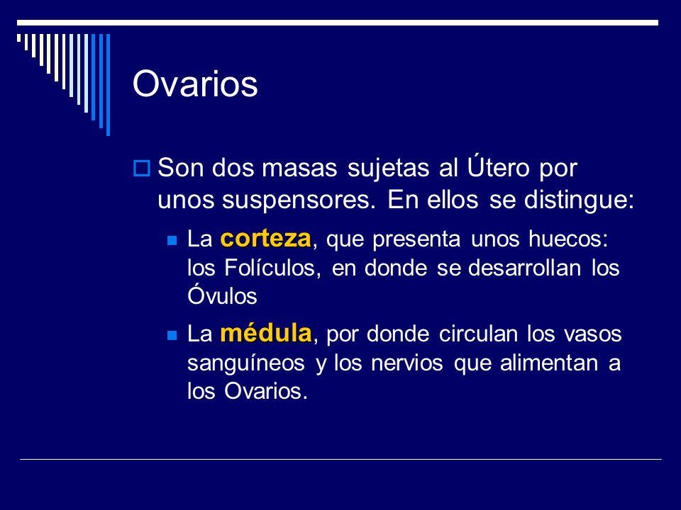 Ovarios Son dos masas sujetas al Útero por unos suspensores. En ellos se distingue: