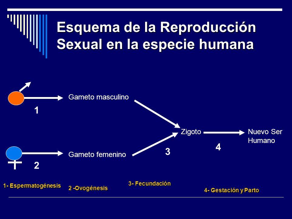Esquema de la Reproducción Sexual en la especie humana