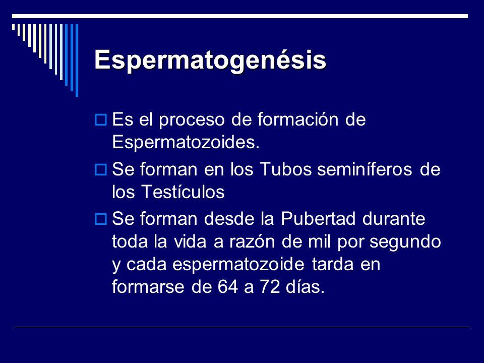 Espermatogenésis Es el proceso de formación de Espermatozoides.
