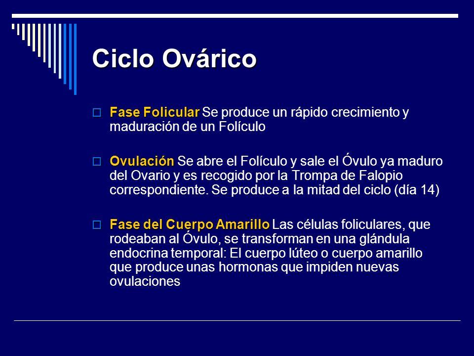Ciclo Ovárico Fase Folicular Se produce un rápido crecimiento y maduración de un Folículo.