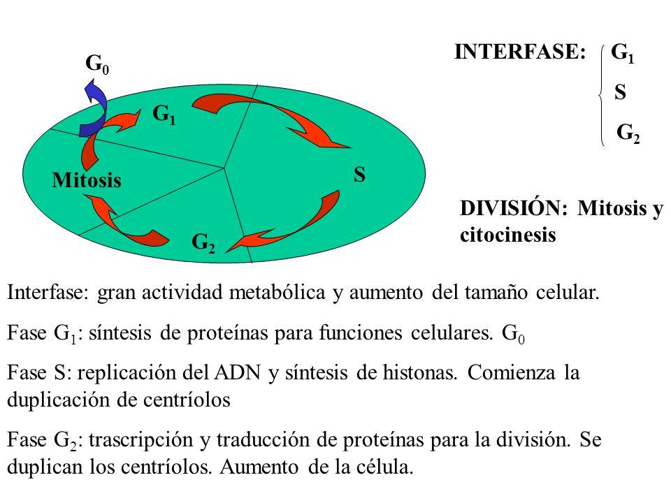 INTERFASE: G1S. G2. G0. G1. S. Mitosis. DIVISIÓN: Mitosis y citocinesis.