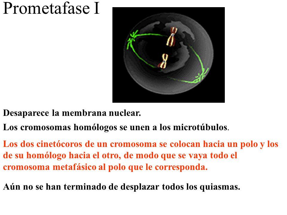 Prometafase I Desaparece la membrana nuclear.