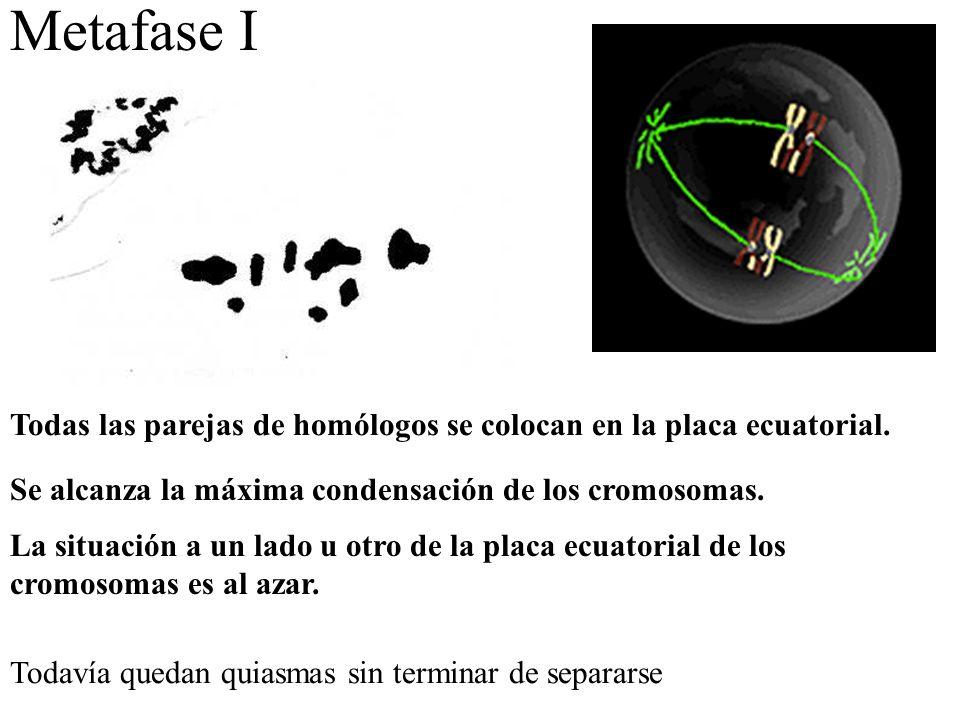 Metafase I Todas las parejas de homólogos se colocan en la placa ecuatorial. Se alcanza la máxima condensación de los cromosomas.
