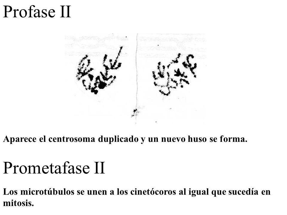 Profase II Prometafase II