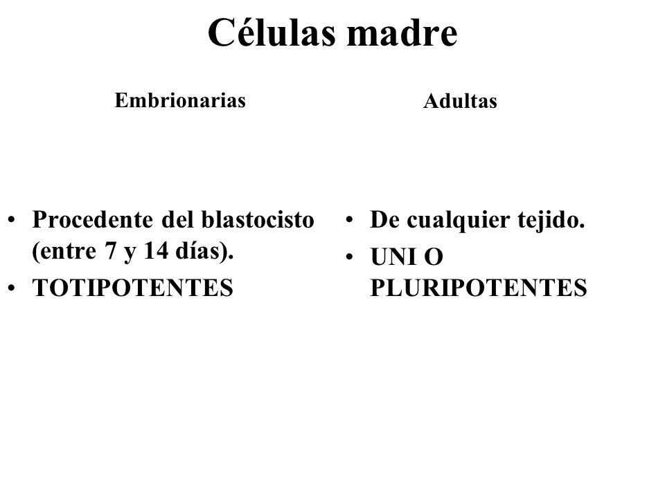 Células madre Procedente del blastocisto (entre 7 y 14 días).