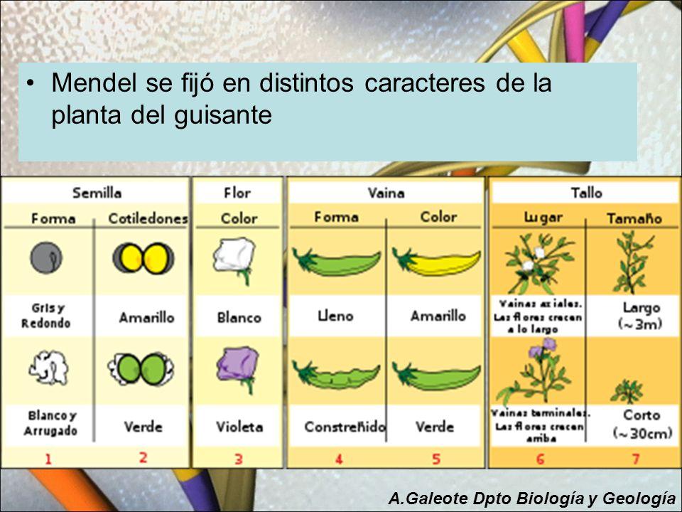 Mendel se fijó en distintos caracteres de la planta del guisante