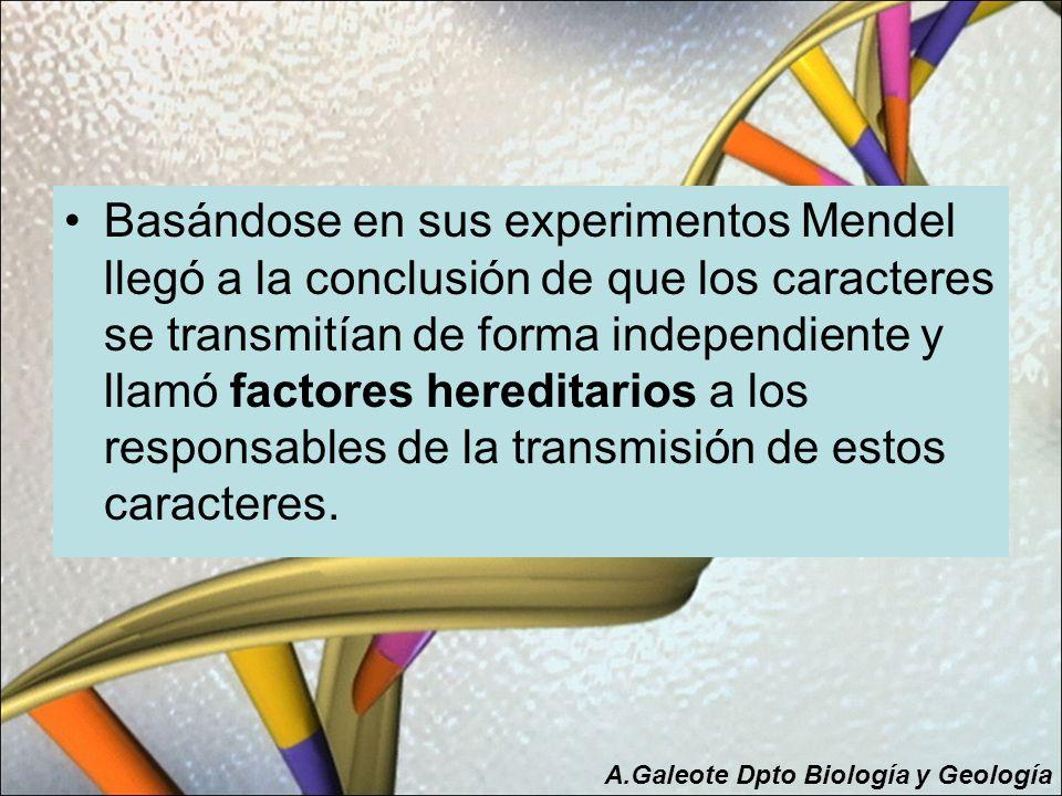 Basándose en sus experimentos Mendel llegó a la conclusión de que los caracteres se transmitían de forma independiente y llamó factores hereditarios a los responsables de la transmisión de estos caracteres.