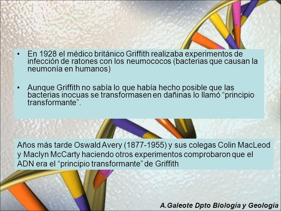 En 1928 el médico británico Griffith realizaba experimentos de infección de ratones con los neumococos (bacterias que causan la neumonía en humanos)