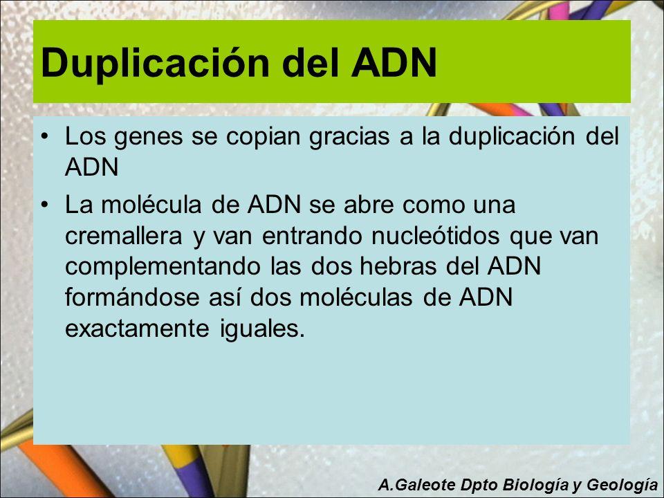 Duplicación del ADN Los genes se copian gracias a la duplicación del ADN.