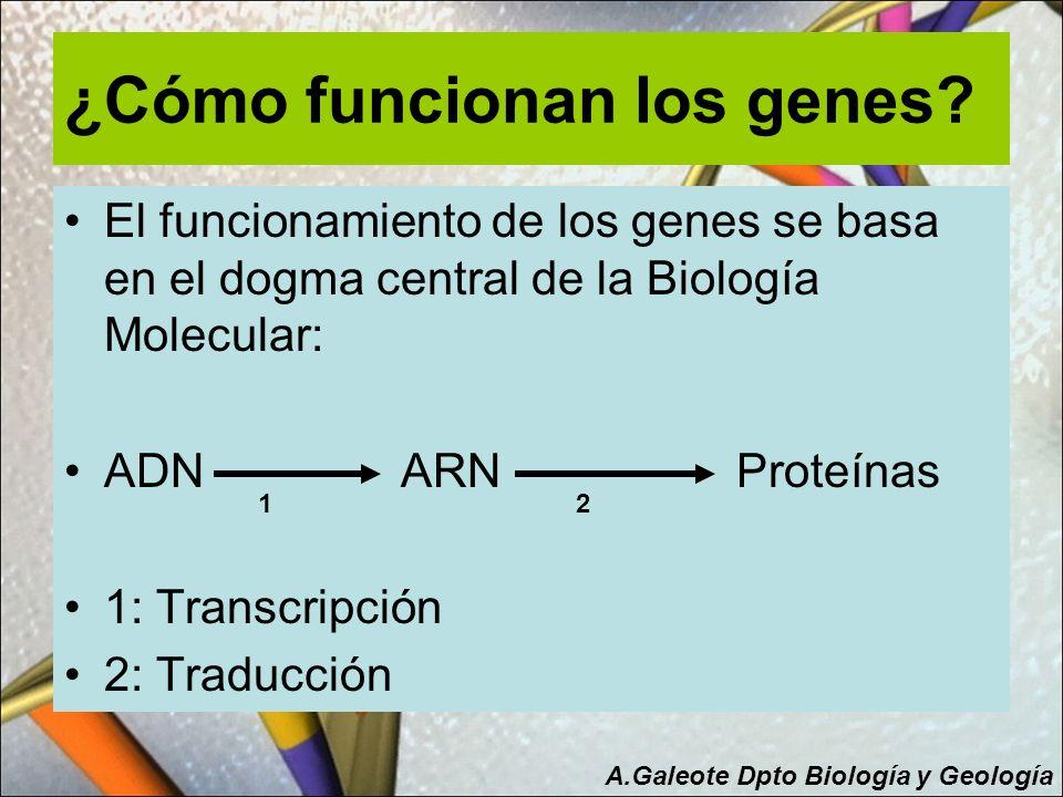 ¿Cómo funcionan los genes