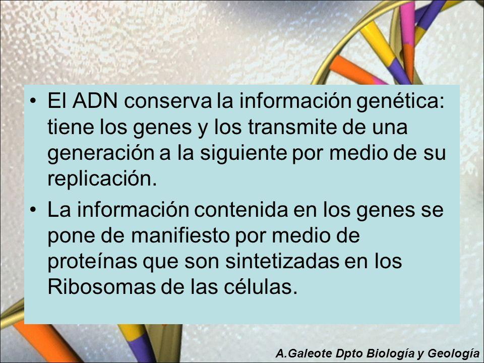 El ADN conserva la información genética: tiene los genes y los transmite de una generación a la siguiente por medio de su replicación.