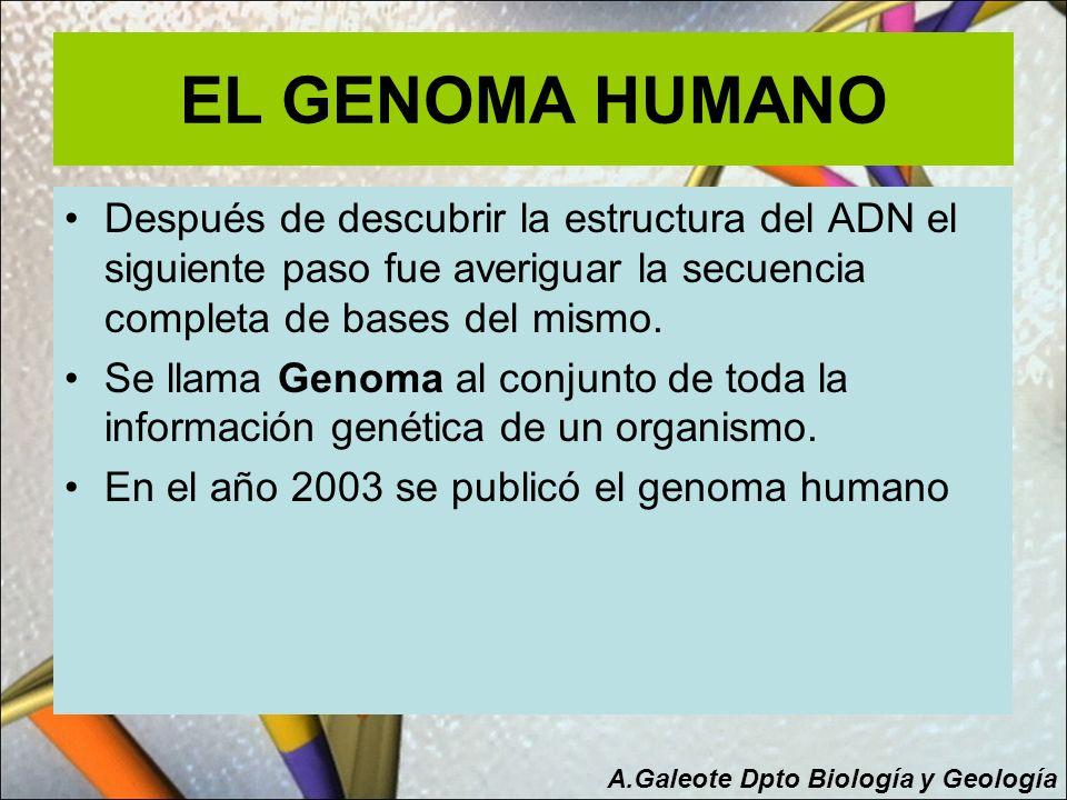 EL GENOMA HUMANO Después de descubrir la estructura del ADN el siguiente paso fue averiguar la secuencia completa de bases del mismo.