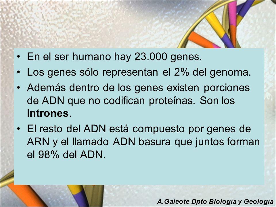 En el ser humano hay 23.000 genes.