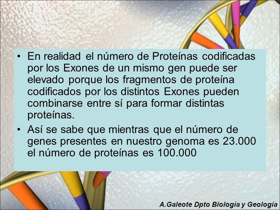 En realidad el número de Proteínas codificadas por los Exones de un mismo gen puede ser elevado porque los fragmentos de proteína codificados por los distintos Exones pueden combinarse entre sí para formar distintas proteínas.