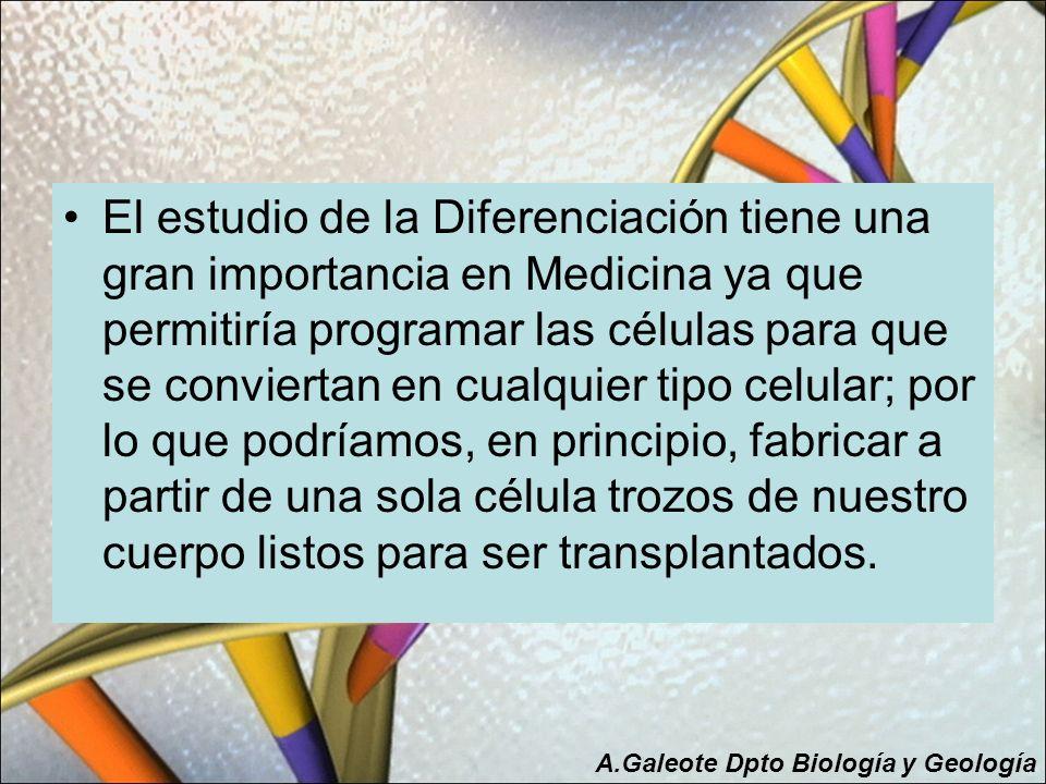 El estudio de la Diferenciación tiene una gran importancia en Medicina ya que permitiría programar las células para que se conviertan en cualquier tipo celular; por lo que podríamos, en principio, fabricar a partir de una sola célula trozos de nuestro cuerpo listos para ser transplantados.