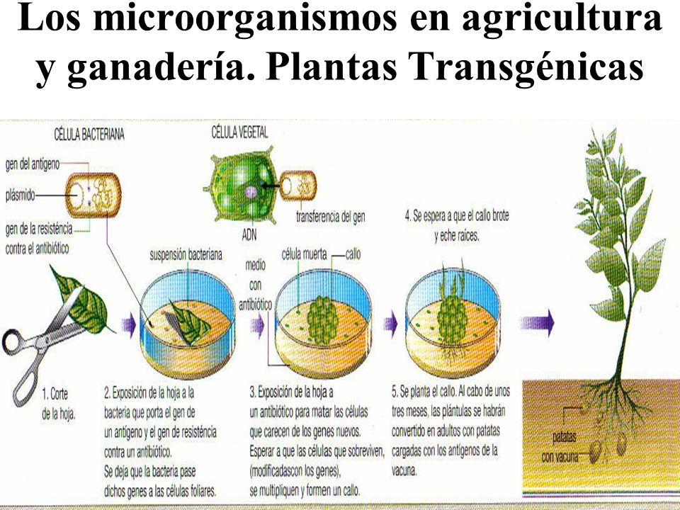 Los microorganismos en agricultura y ganadería. Plantas Transgénicas