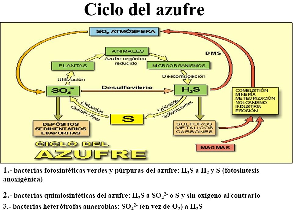 Ciclo del azufre2. 3. 1 y 2. 1.- bacterias fotosintéticas verdes y púrpuras del azufre: H2S a H2 y S (fotosíntesis anoxigénica)