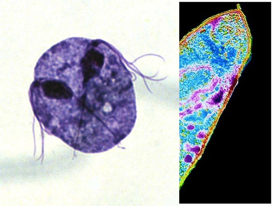 Los Protozoos son organismos eucarióticos unicelulares.
